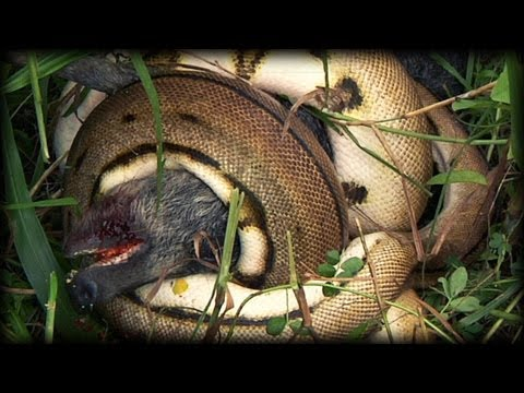 Python kills Pig 01 - Dangerous Animals