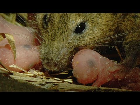 Mouse giving Birth 03, House Mouse and her Babies - YouTube