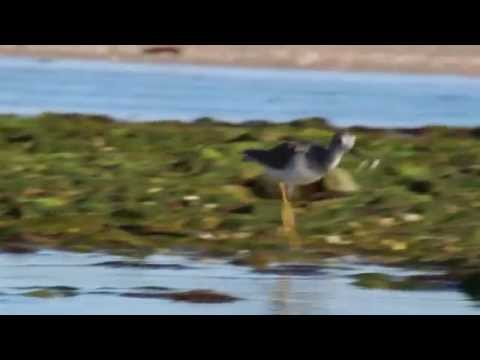 Greater Yellowlegs Catches a Fish and Eats It
