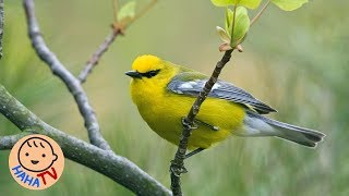 Chim Chích Bông | Nhạc Thiếu Nhi Sôi Động Cho Bé | HAHA TV