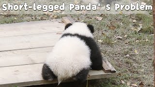 Baby Panda's Legs Are Too Short To Climb | iPanda