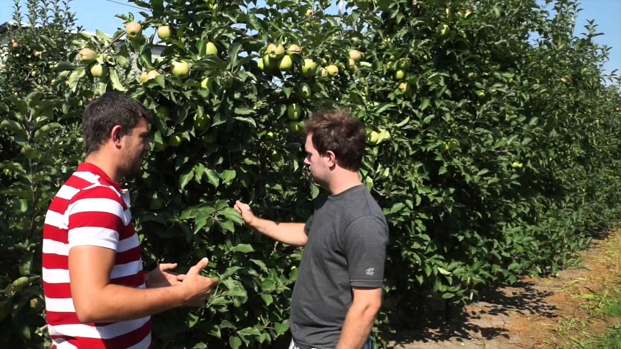 uprawa jabłek, nawozy dolistne, wapń w roślinach dowiedz się o co chodzi, zapylacze, auksyny, podcinanie korzeni, cięcie letnie, nawożenie doglebowe, forum sadownicze