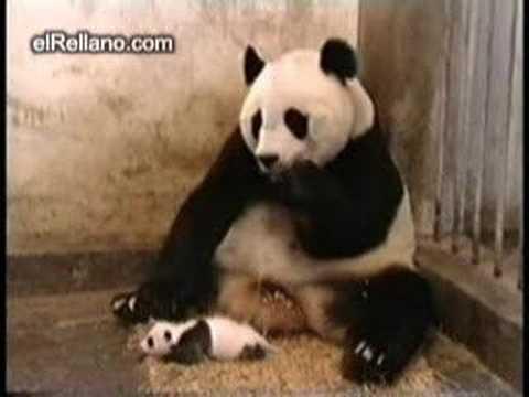 Estornudo de Oso Panda