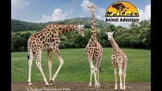 Giraffe Cam - Animal Adventure - April the Giraffe