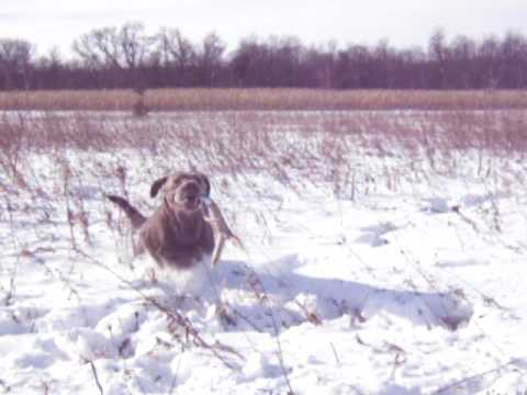 Silver Labs Hunting Shed Hunting Silver Labrador