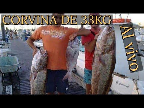 Pesca al vivo: Corvina de 33 kilos !