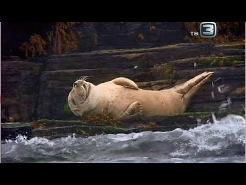 Серый тюлень. Всё о животных.