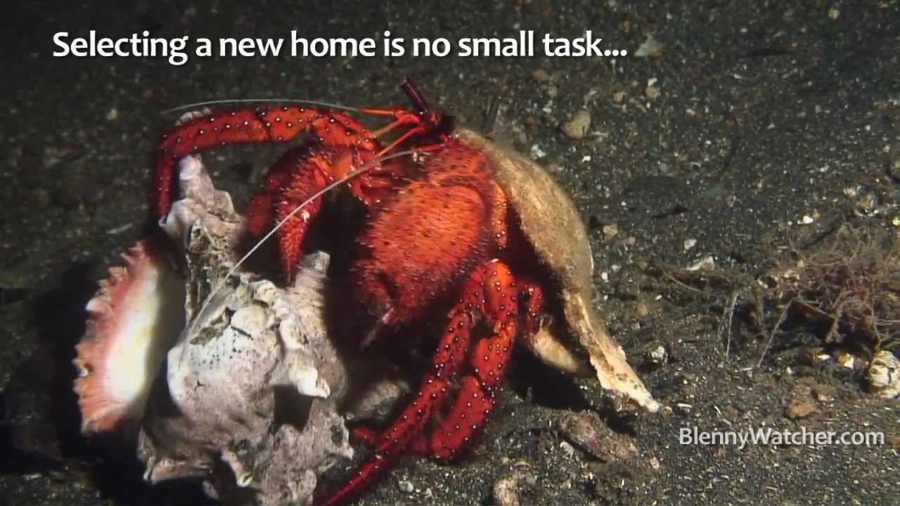 Glass Hermit Crab Shells Hermit Crab Changes Shell