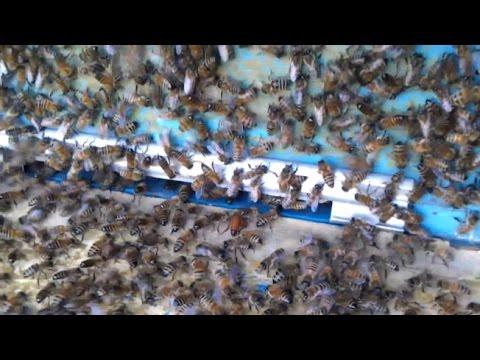 видео бесплатно ловля пчелиных роев
