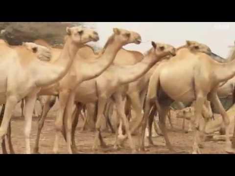 Somali Camel Market Mogadishu City BBC NEWS