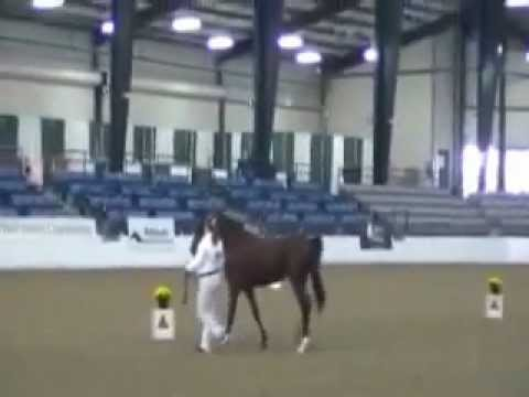 M&M Show Horses at Arabian Sport Horse Nationals 2011