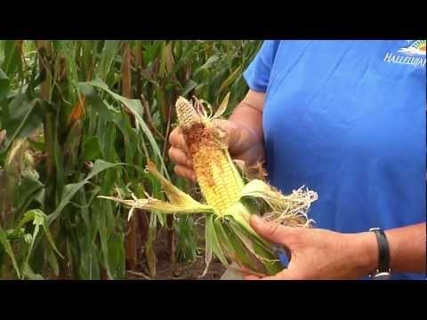 Gardening Guide #12: Growing Corn