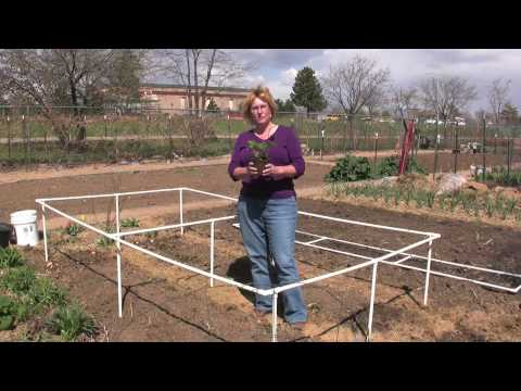 HOW TO  GROW STRAWBERRIES (VIDEO)