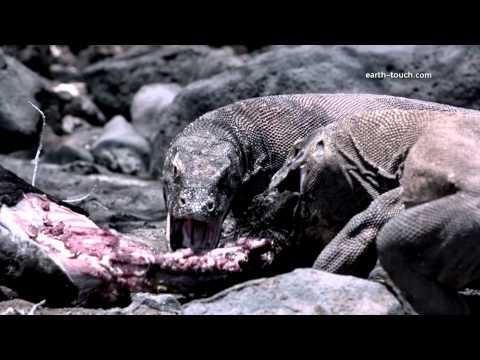 Komodo Dragon Charges Film Crew Chasing Dragon Ep 2