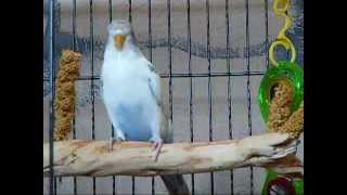 How to gain your parakeets trust