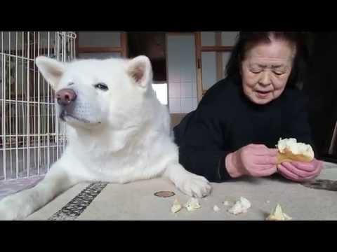 秋田犬お留守番のご褒美はメロンパンです【akita dog】