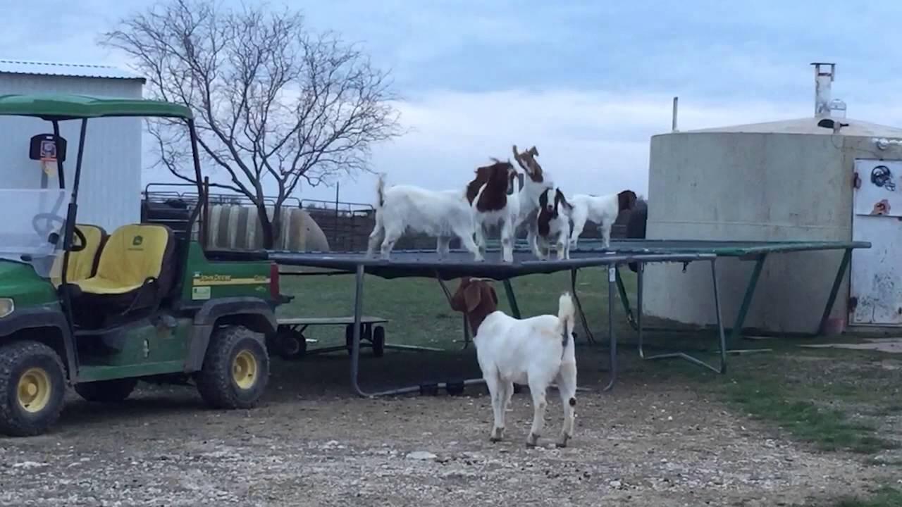 Trambulinon pattognak a kecskék - videó