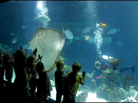 Manta Ray Peru Manta Ray Attacks Diver Real