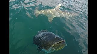 Giant Hammerhead Shark and Goliath Grouper Action!