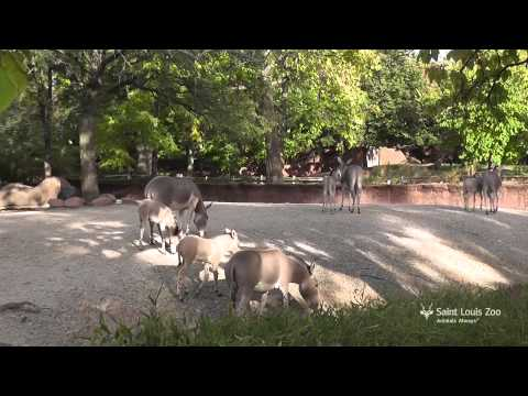 Five Somali Wild Ass Foals At Saint Louis Zoo video