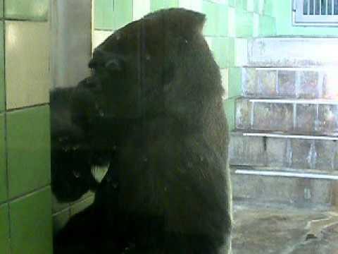 ゴリラ 動物園