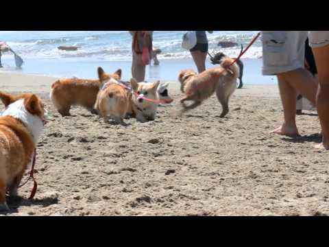 4/20/13 Corgi Beach Meet