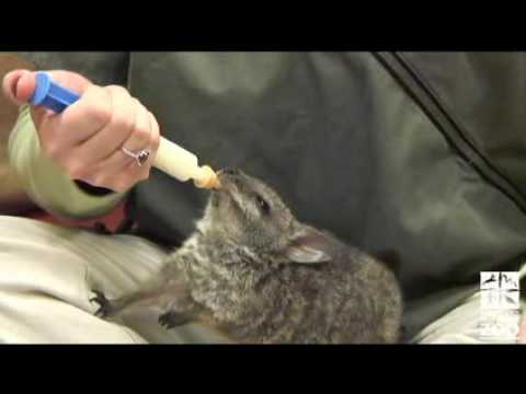 Zoo Vet Staff Hand-Raises Wallaby Joey Video