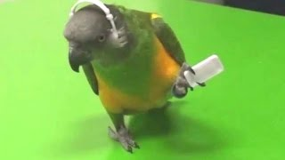 Parrots Dancing - A Funny Parrot Videos Compilation || NEW HD