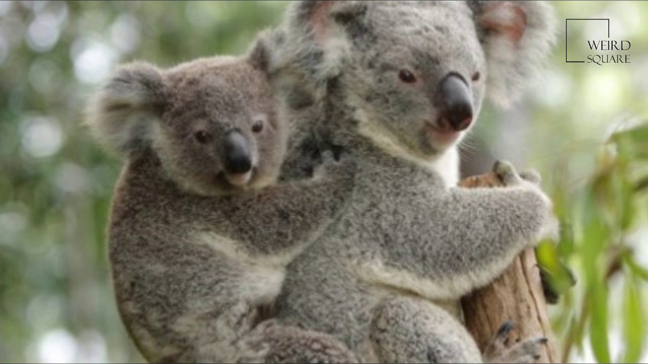a study of the koala the australian jewel A mismatch of community attitudes and actions: a study toward koala populations and sustainable wildlife conservation in southeast queensland, australia.