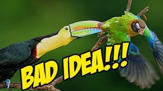 Why Toucans SHOULD NOT be kept around other Birds or Animals!!!! (GRAPHIC)