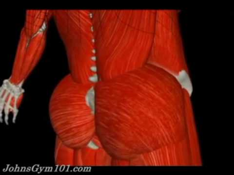Human Anatomy - Your muscles