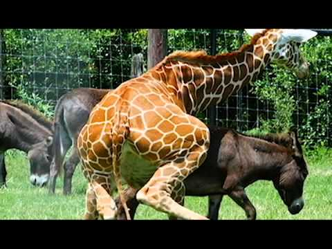 Donkey And Giraffe Mating! (animals Breeding) video