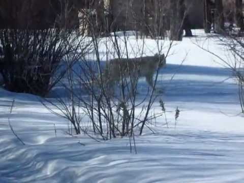 Wolves in Jackson Hole, Wyoming