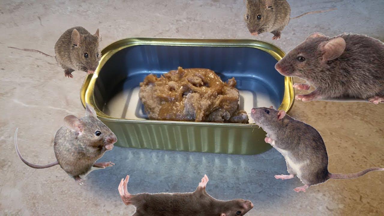 ضعيها في المنزل تقضي على الفئران لن يبقى فأر واحد على قيد الحياة