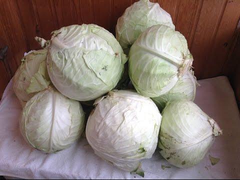 116.Капуста. Семена капусты не сложно вырастить самим.