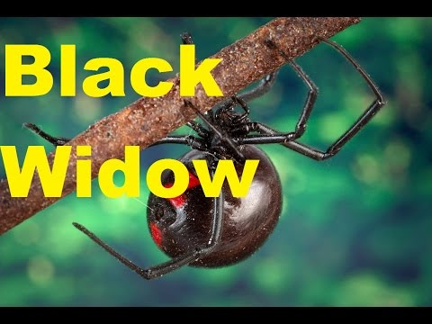 Important Facts about BLACK WIDOW spiders. How to prevent Black Widow bites.
