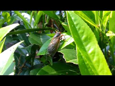Cicada Emergence 2013 (Brood II) - The Adults Have Arrived in Summit, NJ - May 21st, 2013 - HD