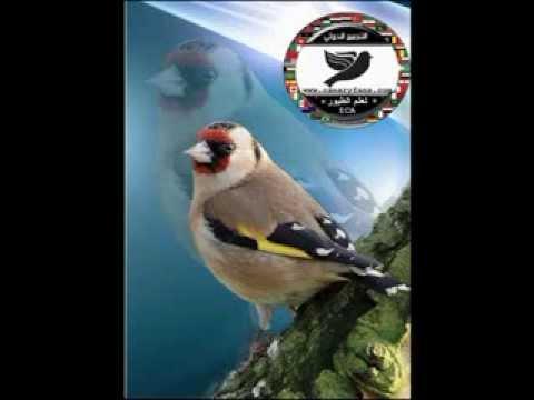 cd goldfinch songs - (chants) - شريط كامل تغريد مقاطع الحسون