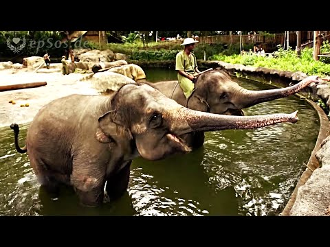 Beautiful Elephant Feeding Game in Singapore Zoo