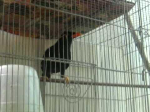 tintin .. ang myna bird 2