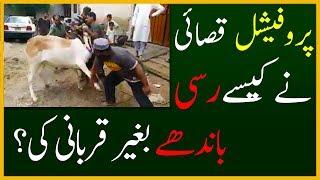 Professional Qasai 2017 | Cow Qurbani With No Ropes Tied by Professional Qasai at Eid ul Adha 2017