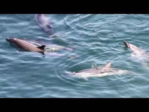 Taiji, Japan - Striped Dolphin Slaughter