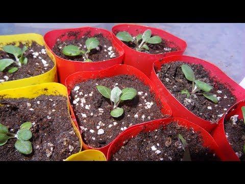 Когда сеять цинерарию на рассаду 48