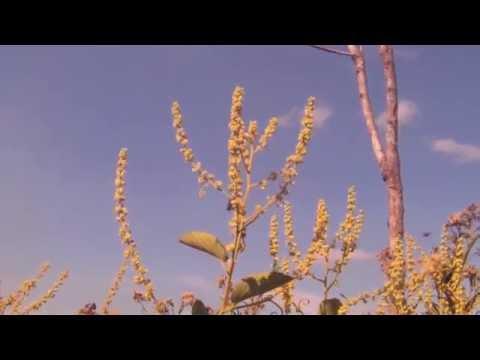 Header of Gouania ulmifolia
