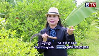 Agriculture Program In BTV Cambodia | Lemon Plant