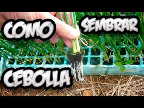 Como sembrar cebolla cultivo organico la huertina de - Como plantar marihuana en casa paso a paso ...