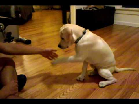 0 16 week labrador retriever puppy dog training and tricks