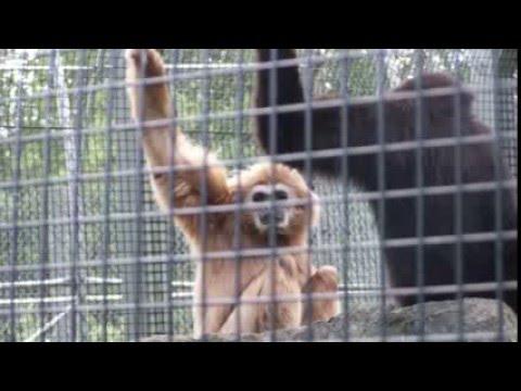 ヤメテ!雄叫びを上げる猿に隣の猿が取った行動とは!?