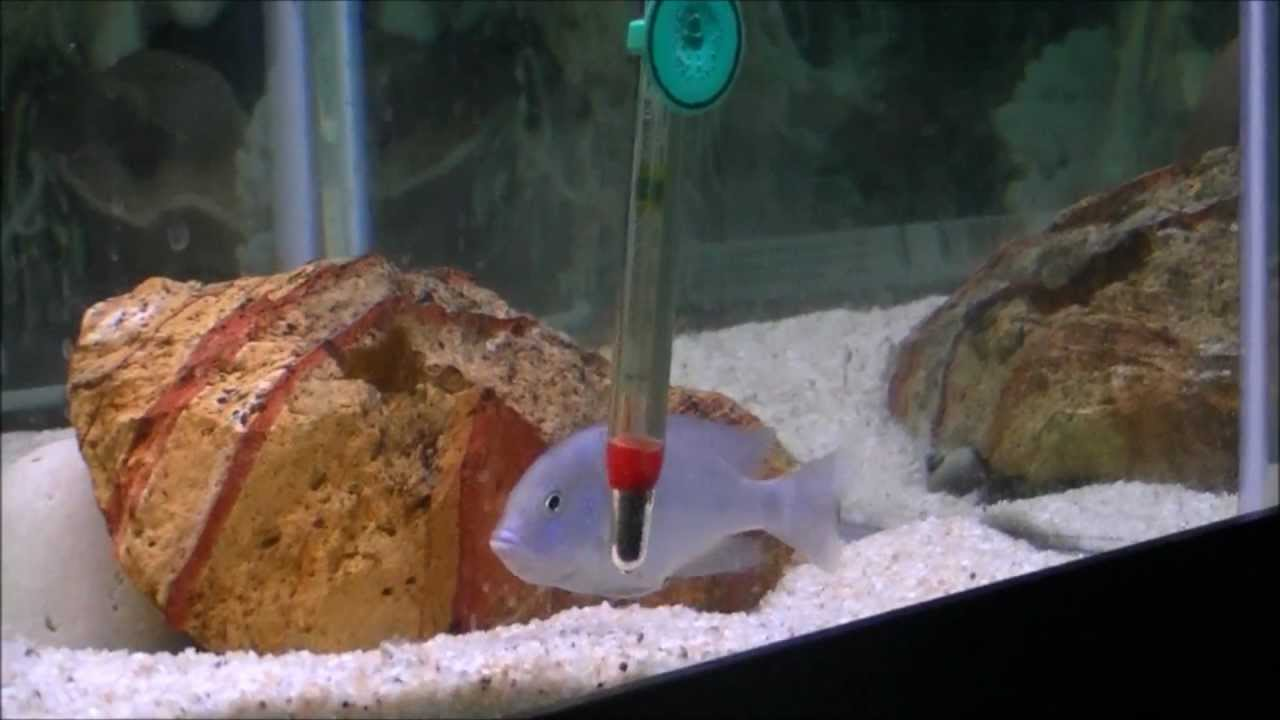 Cyrtocara Moori - Blue Dolphin cichlid Spawning (Hap Moori) - YouTube