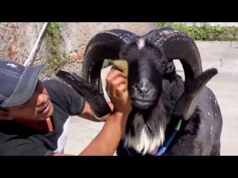 Ternak Domba Garut Dengan Pakan Limbah Kulit Kacang Kedelai video
